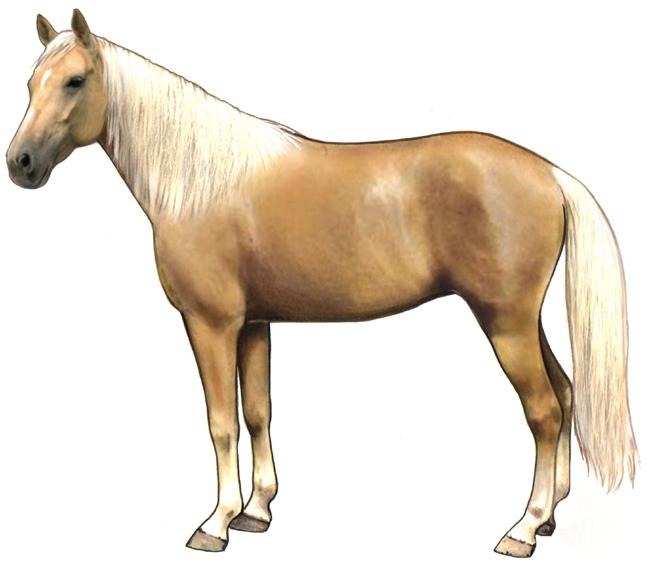 Palomino Horse Breed Information