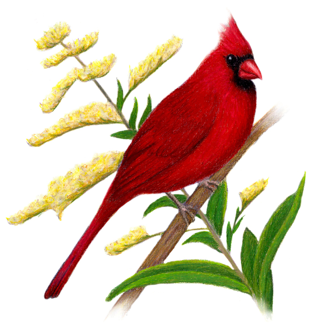 Apparently Kentucky's state flower is the goldenrod (who knew?). We're better known for our state bird, the Cardinal: